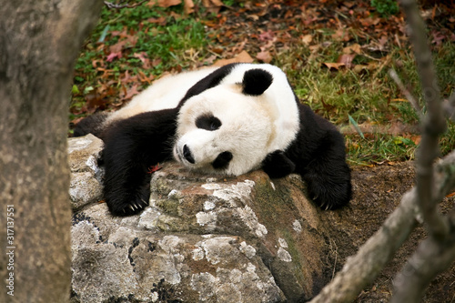 Valokuvatapetti Giant Panda Bear (Ailuropoda melanoleuca) Sleeping on a Rock at a Local Zoo