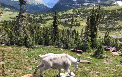 Vászonkép Mountain Goat in Glacier National Park