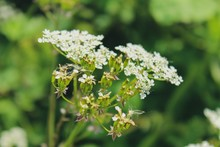 Selective Focus Shot Of A Branch Of Cow Parsley Flowers With A Blurred Green Background