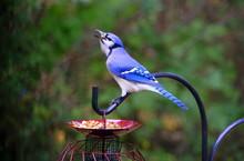 A Beautiful Blue Jay Eating Pe...