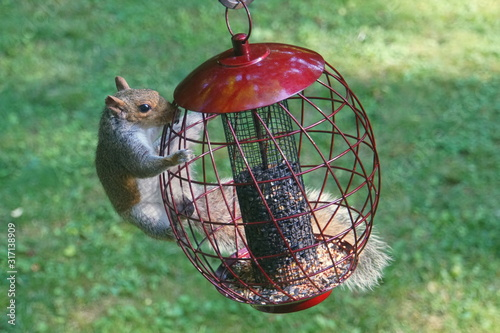A squirrel trying to steal seeds from a metal bird feeder Canvas Print