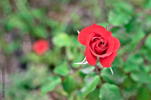Obraz na plátně Single beuatiful red garden rose in a bud.