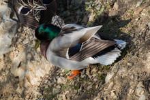 Wild Duck  Beside The Pond
