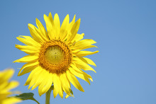 Big And Perfect Sunflower Looks Very Beautiful On A Bright Sky Day.