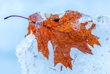 Fall Leaf Trapped In Ice