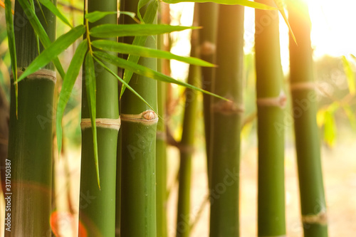 Fototapeta Group of green jointed bamboo tree in the garden with soft orange light in evening close-up. obraz
