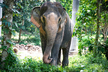 Large Asian Elephant Front View