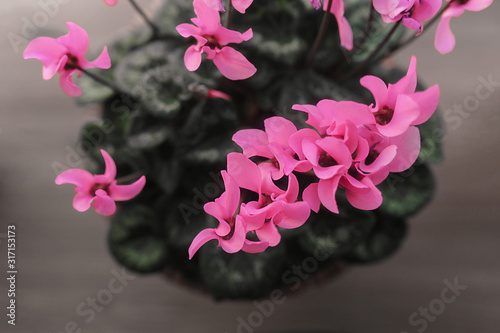 home indoor plant in full bloom, blossoming pink violet flowers grow from a pot in domestic conditions top view