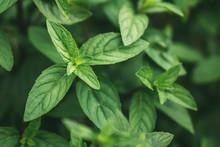 Fresh Organic Peppermint Leave...