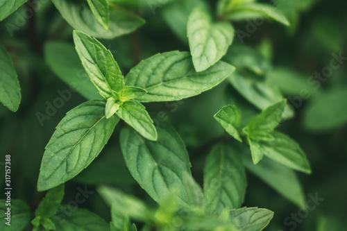 Fresh organic peppermint leaves in summer garden. Fototapet