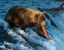 Brown Bear Fishing For Salmon At Katmai National Park