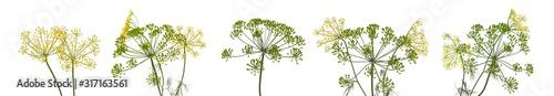 fresh dill flowers on white background Wallpaper Mural