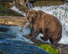Brown Bear Eating A Salmon