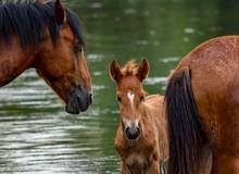 Group Of Horses Near The Lake ...