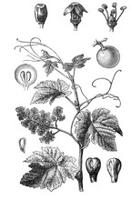 Grape Vine (Vitis Vinifera) Ol...