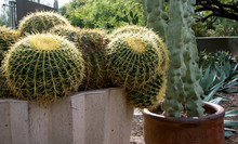 Large Barrel Cactus In A Pot
