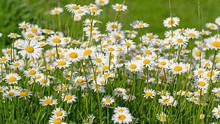Blühende Margeriten, Leucanthemum, Auf Der Wiese