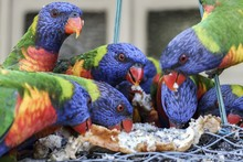 Lot Of Rainbow Lorikeet Birds ...