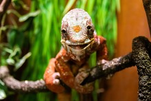 Closeup Of A Common Chameleon ...