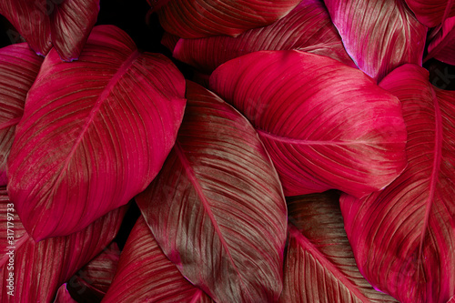 Fototapete - leaves of Spathiphyllum cannifolium, abstract colorful texture, nature background, tropical leaf