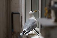 Urban Gull Bird Resting On A Closed Window