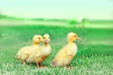 草原を散歩する3羽の