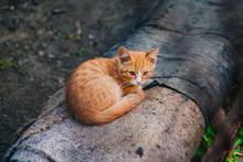 Ginger Homeless Kitten Sits On...