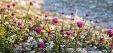 Alpine Thistles (Carduus Deflo...