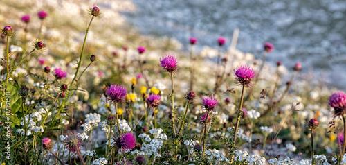 Alpine Thistles (Carduus defloratus) and other alpine flowers near the Three Pea Canvas Print