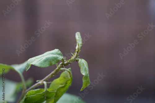 Aphid on a tree branch with leaves Canvas Print