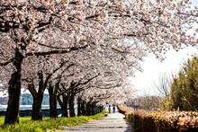 Sakura, Cherry Blossom Flower ...