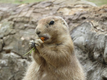Portrait Of A Prairie Dog Eating A Carrot