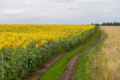 Fotomurales - The country road along the yellow sunflower's field. Summer landscape: beautiful field yellow sunflowers.