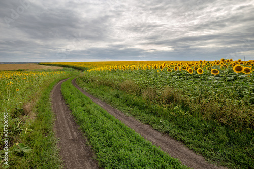 Fotomurales - The country road through the yellow sunflower's field. Summer landscape: beautiful field yellow sunflowers.