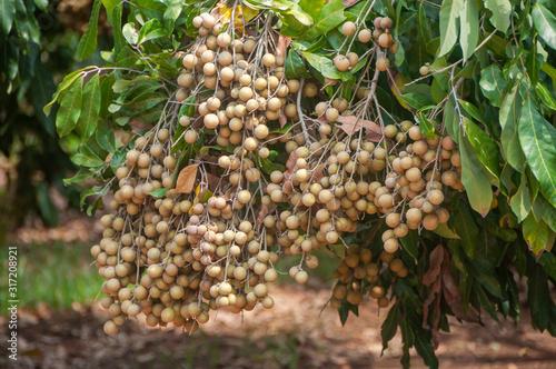 Fruitful longan bunch on plant