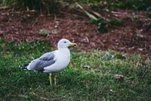 Oiseau De Bord De Mer Goéland Sur Le Gazon