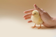 Image Of A Newborn Chicken, Wh...