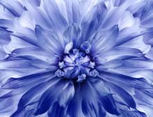 Floral White-blue Background.  Dahlia  Flower.  Close-up.  Nature.