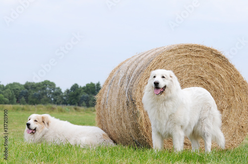 Leinwand Poster Two livestock guardian dog, Great Pyrenees, lying on stubble field