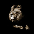 Portrait of a gorgeous Male Lion against black background