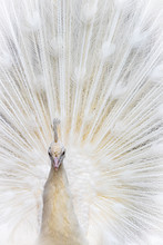 A Nbeautiful White Peafowl Sho...