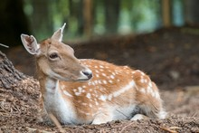 White-tailed Deer Resting In A...