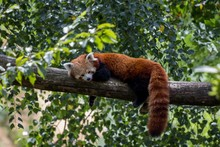 Red Panda Laying On A Tree Branch And Enjoying Its Lazy Day
