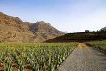 Aloe Verra Field With Mountains In The Background