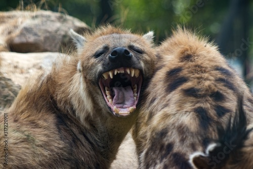 Fotomural Hyenas one of them yawning with a blurred background