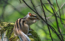 Chipmunk Sitting On A Rock With Moss
