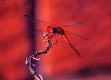 Closeup Shot Of A Net-winged I...