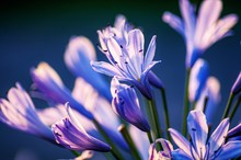 Closeup Shot Of Agapanthus Flowers On A Blurred Background