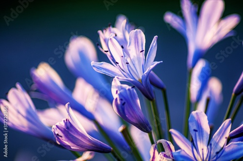 Closeup shot of agapanthus flowers on a blurred background Canvas Print