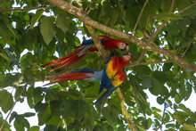 Pair Of Scarlet Macaw (Ara Mac...